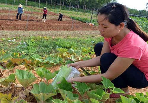 Chị Lê Thị Thanh Thủy cho biết, để tránh côn trùng gây hại, các loại quả ở vườn đều phải bọc túi nylon thay vì phun thuốc hóa học độc hại.  Ảnh: P.P