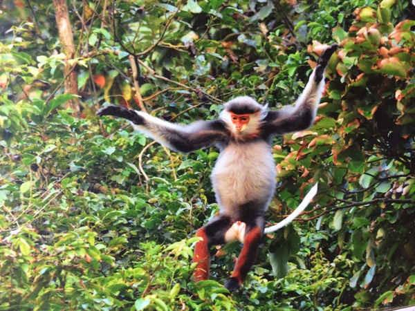 """Loài Voọc Chà vá chân nâu """"nữ hoàng"""" của các loài linh trưởng, loài động vật quý hiếm đang đứng trước nguy cơ bị tuyệt chủng cần được bảo vệ vô điều kiện"""