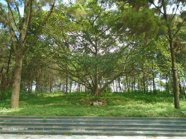 Cây đa trên đồi Đồng Váng (Ba Vì) biểu tượng cho tình thương của Bác Hồ dành cho người dân nơi đây