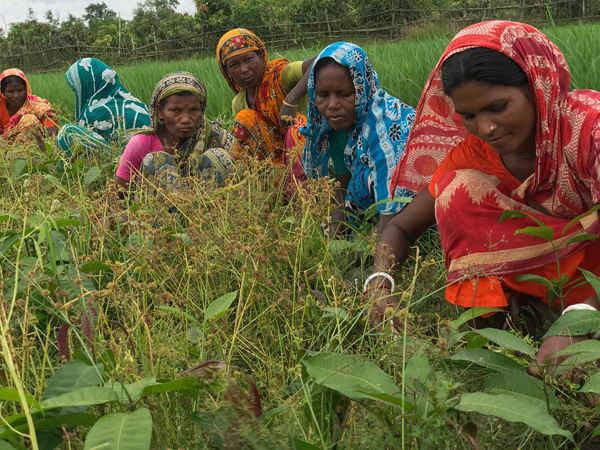 Phụ nữ tại các cộng đồng bản địa có xu hướng trồng một vườn xoài non bên cạnh cánh đồng lúa ở phía Tây Bắc Bangladesh. Ảnh: Kamran Reza Chowdhury