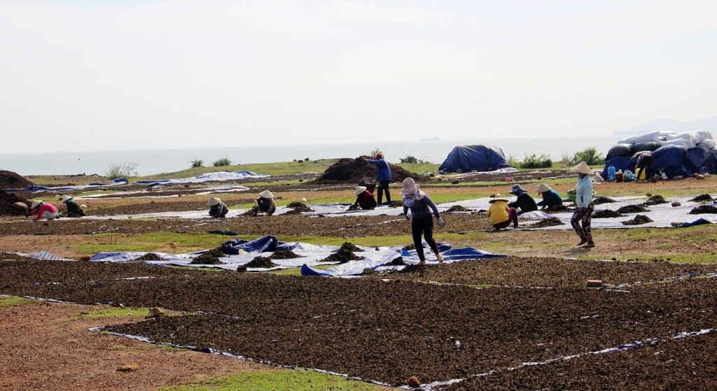 Việc phơi xác bã trà không được thu gom, xử lý nước rỉ hôi tiềm ẩn nguy cơ gây ô nhiễm môi trường biển