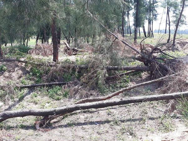 Việc UBND tỉnh Thanh Hóa ban hành quyết định xóa sổ gần 2.000ha rừng phòng hộ trên địa bàn đã khiến phi lao bị chặt phá không thương tiếc.