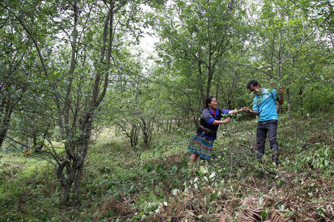 Người dân trồng cây dược liệu trong diện tích rừng hiện góp phần cải thiện cuộc sống
