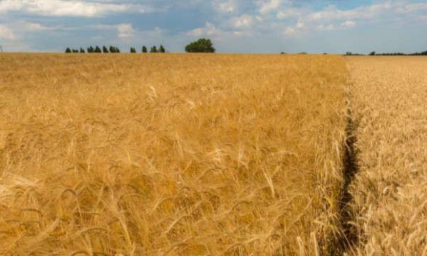 Một cánh đồng lúa mạch ở Suffolk. Các nhà nghiên cứu cho biết hạn hán đã ảnh hưởng đến sản lượng. Ảnh: Graham Turner / Alamy