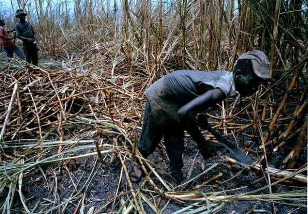 Công nhân chặt mía trong thời tiết ngột ngạt ở khu vực Barahono của Cộng hòa Dominican. Ảnh: Sean Smith / Guardian