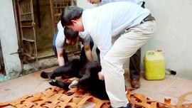 Sơn La: Tịch thu một cá thể gấu nuôi nhốt trái phép