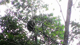 Kon Tum: Thả một cá thể khỉ mặt đỏ về rừng