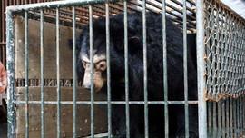 Hà Nội tái gắn chíp trên 200 cá thể gấu nuôi nhốt