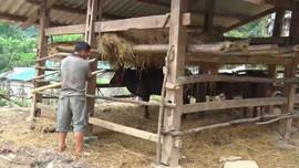 Lai Châu chủ động phòng chống rét cho đàn gia súc