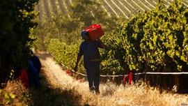 Hạn hán lịch sử tàn phá ngành công nghiệp rượu vang của Nam Phi