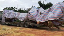 """Cây """"quái thú"""" bị bắt giữ ở Quảng Bình từng được bán đấu giá ở Quảng Ngãi"""