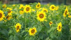 Du khách trầm trồ với 'cánh đồng' hoa hướng dương ở Hoàng thành Thăng Long