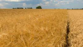 Các nhà khoa học phân lập gen kháng hạn hán trong lúa mạch