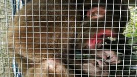 Huế: Thả cá thể khỉ mặt đỏ về môi trường tự nhiên
