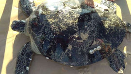 Quảng Trị: Cứu hộ thành công 1 cá thể rùa biển nặng hơn 100 kg