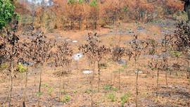 Yêu cầu làm rõ trách nhiệm một Ban quản lý chậm báo cáo vụ cháy 17ha rừng trồng