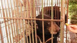 """Cứu hộ 3 cá thể gấu ngựa tại Nam Định trong """"mùa dịch Covid-19"""""""
