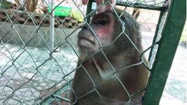 Vườn quốc gia Vũ Quang tiếp nhận cá thể khỉ mặt đỏ để thả về môi trường tự nhiên
