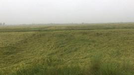 Hải Phòng: Gần 200ha lúa, hoa màu bị đổ và ngập úng do mưa lớn