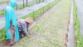 Huế: Phân bổ giống cây trồng hỗ trợ khắc phục thiệt hại do thiên tai