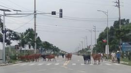 """Hà Tĩnh: Bò thả rong """"tung tăng"""" giữa khu đô thị"""