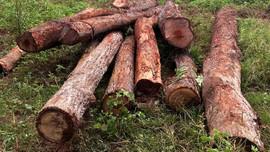 Gia Lai phát hiện 2 bãi gỗ lậu