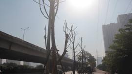 Hà Nội: Tơ hồng làm chết cây hàng loạt trên mặt phố không được xử lý