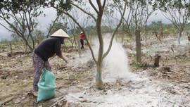 Thừa Thiên Huế: Khôi phục đặc sản thanh trà sau bão lũ