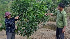 Mường Ảng (Điện Biên): Chuyển đổi cơ cấu cây trồng phát huy hiệu quả sử dụng đất