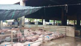 """Thừa Thiên Huế: """"Nóng"""" vấn đề ô nhiễm lò mổ tại phiên chất vấn"""