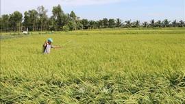 Hơn 500 tỷ đồng hỗ trợ nông dân sản xuất thích ứng biến đổi khí hậu ĐBSCL