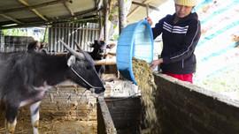 Điện Biên: Chủ động phòng tránh rét cho vật nuôi