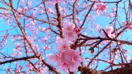"""Hoa anh đào Nhật đang khoe sắc tuyệt đẹp tại """"thành phố mây ngàn"""""""