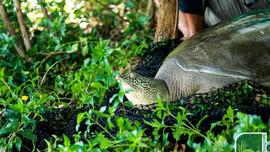 Tìm thấy hậu duệ của rùa Hoàn Kiếm