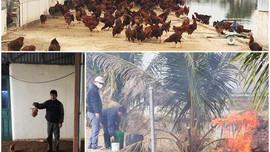 Quảng Ninh: Tiêu hủy gần 1.000 con gà nhiễm cúm gia cầm H5N6