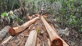 """Chủ tịch tỉnh Lạng Sơn chỉ đạo tiếp tục điều tra vụ rừng Lim ở Đình Lập bị """"khai tử"""""""