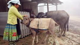 Lào Cai: Tăng cường công tác chống rét cho gia súc