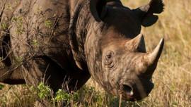 Giảm nhu cầu sử dụng sừng tê giác thay đổi hành vi khách du lịch