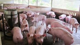 Xây dựng tổ hợp trang trại quy mô tỷ USD ở Thanh Hóa