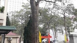"""Khởi tố các đối tượng đổ """"nước lạ"""" vào cây sưa tiền tỷ trong khuôn viên Sở KH&ĐT Lạng Sơn"""