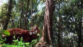 Quảng Nam: Quản lý bền vững gần 16 ngàn ha rừng để bảo tồn Sao la