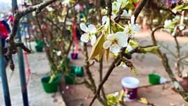 Người Hà Nội xuống phố mua hoa lê sau Tết Tân Sửu