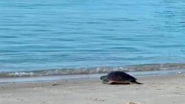 Quảng Nam: Thả về biển cá thể rùa biển do ngư dân tự nguyên giao nộp