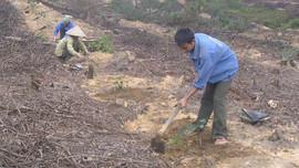 """Hà Tĩnh: Trồng rừng """"chỉ lối"""" phát triển kinh tế  cho người dân miền núi"""