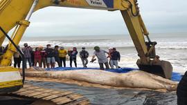 Phát hiện xác cá voi dạt vào bờ biển Quảng Bình