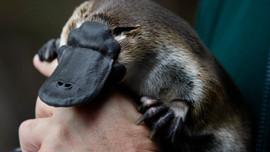 Australia xây dựng khu bảo tồn thú mỏ vịt đầu tiên trên thế giới