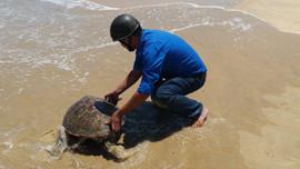 Bình Định: Thả rùa về biển Cát Tiến