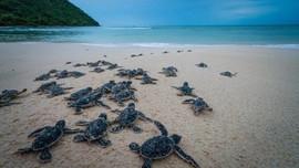 """Bài dự thi """"Cùng giữ màu xanh của biển"""": Nâng niu sự sống cho rùa biển"""