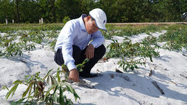 Thừa Thiên Huế: Chủ động phòng trừ bệnh khảm lá trên cây sắn