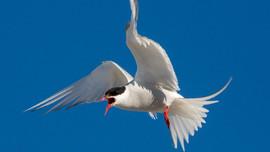 Biến đổi khí hậu đe dọa loài chim nhạn Bắc Cực